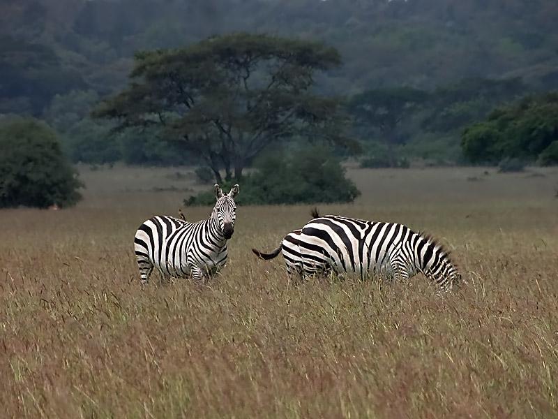 Zebras im Nairobi National Park