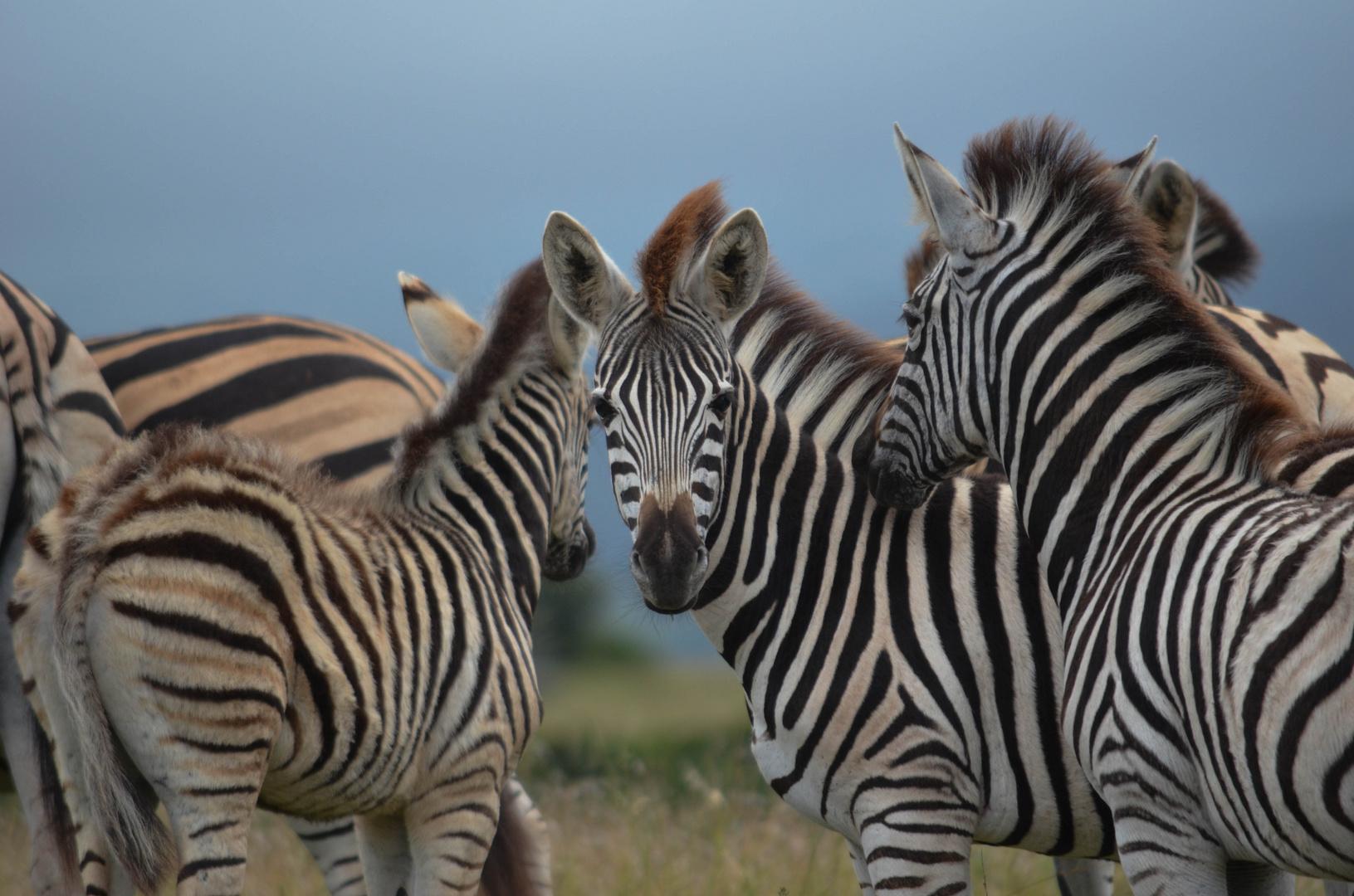 Zebras im Shamwari Game Reserve