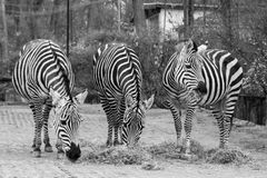 Zebras im Vivarium Darmstadt