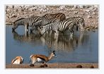 zebras IN and springbock AT the waterhole