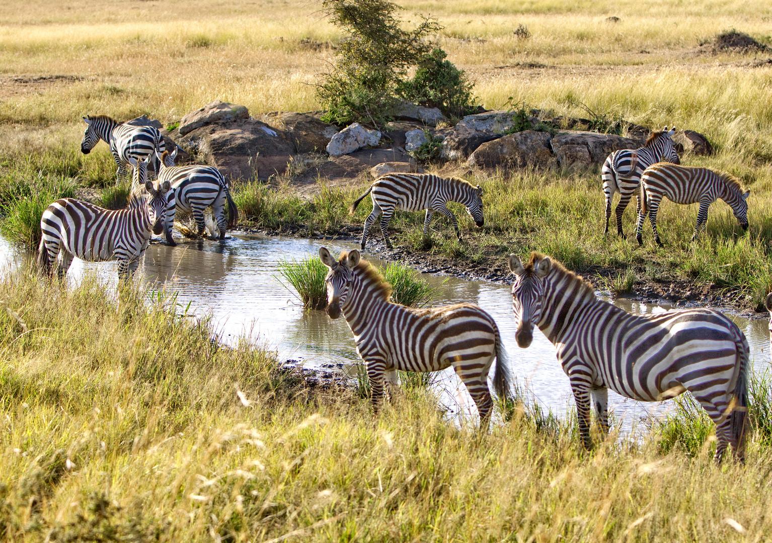 Zebras in der Serengeti