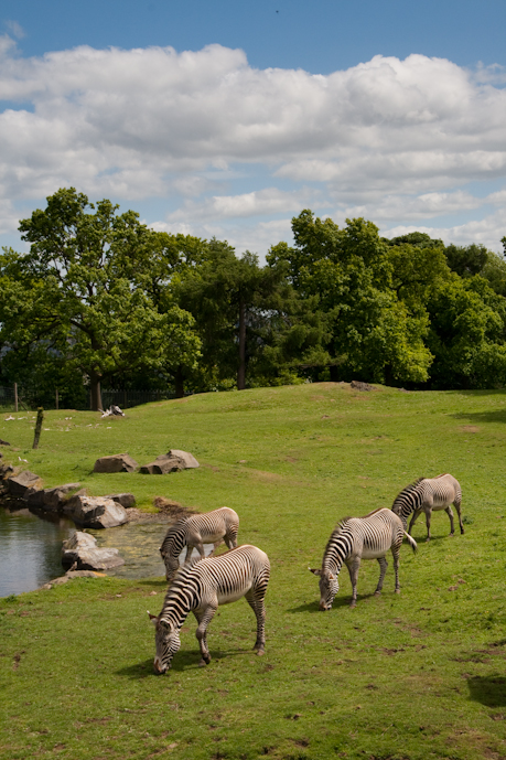 Zebras in Edinburgh