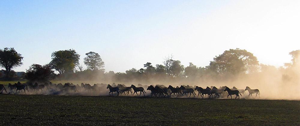 Zebras in the dust.....