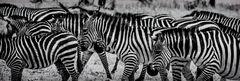 Zebras No. 1