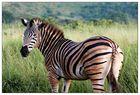 Zebras sehen aus ...