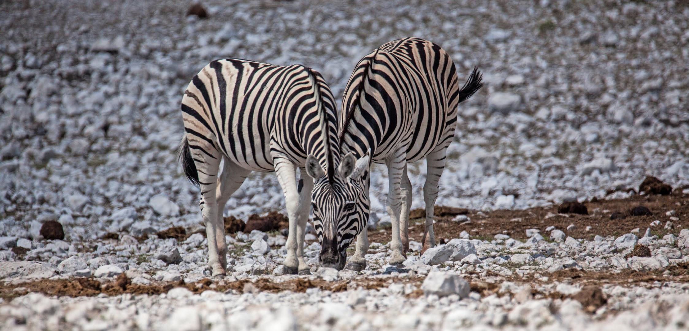 Zebras- Siamesische Zwillinge