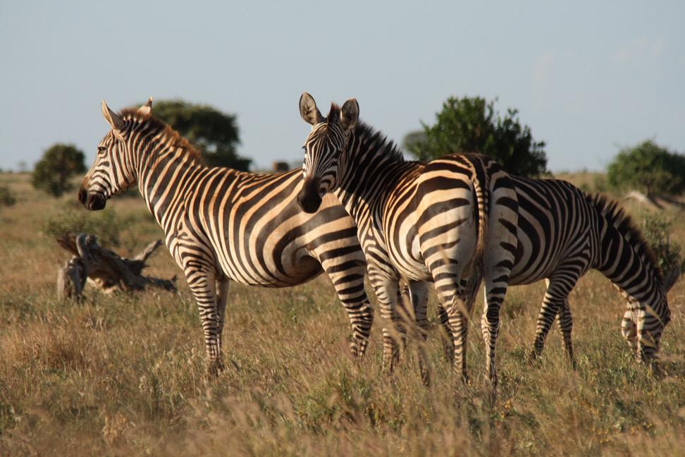 Zebra's Sundowner