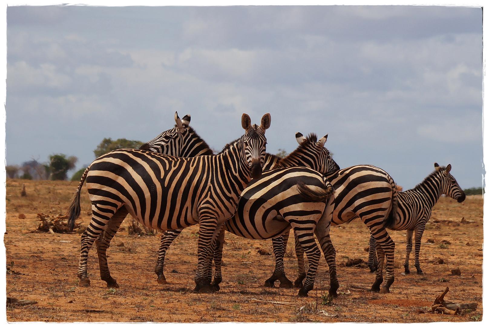 Zebras Tsavo Ost