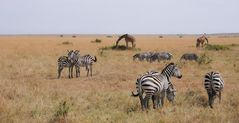 Zebras und Giraffen, Kenia