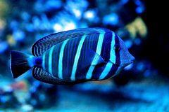 Zebrasoma-desjardinii
