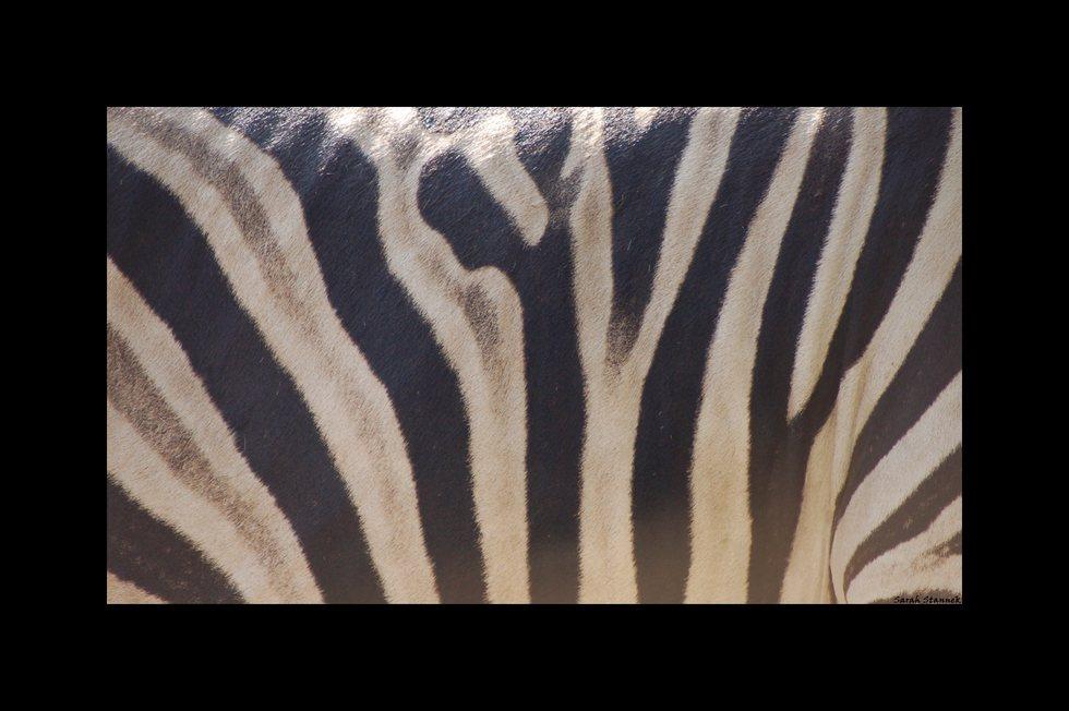 Zebrastreifen- Streifenzebra ?! :)
