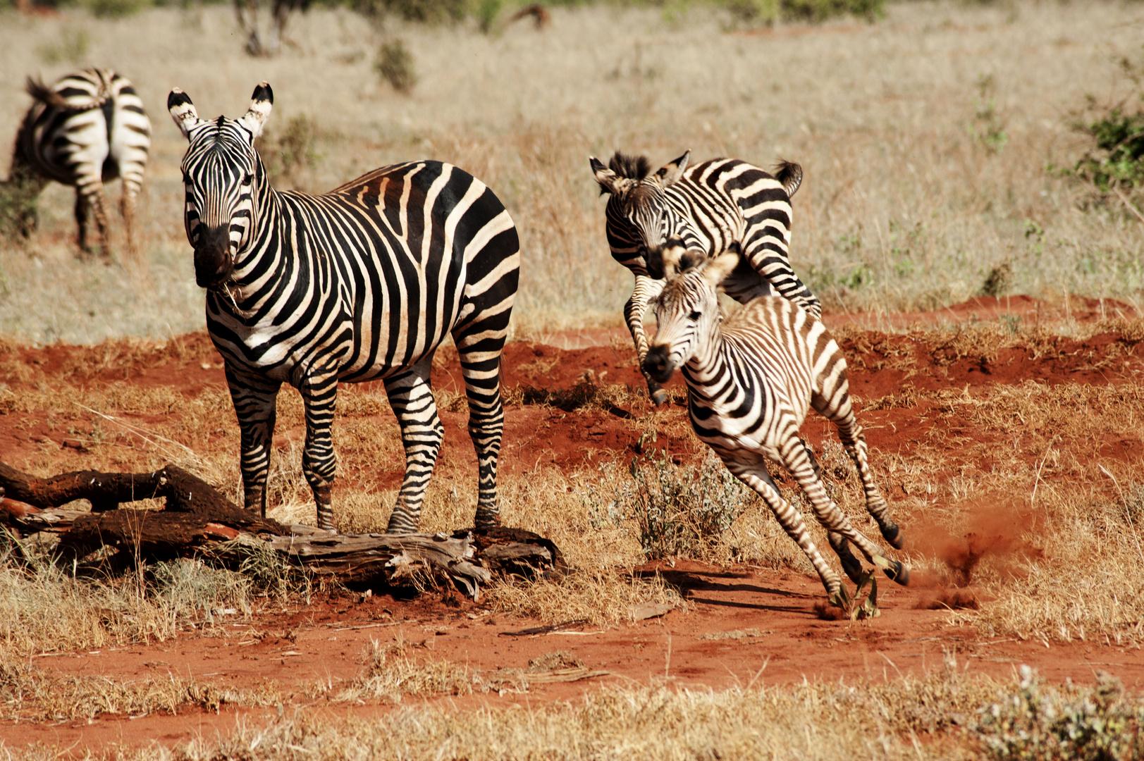 Zebre all'alba del Kenya