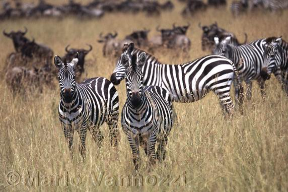 Zebre - Masai Mara