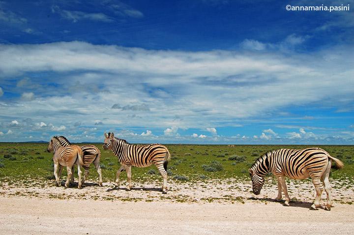 Zebre - Parco Etosha (Namibia)