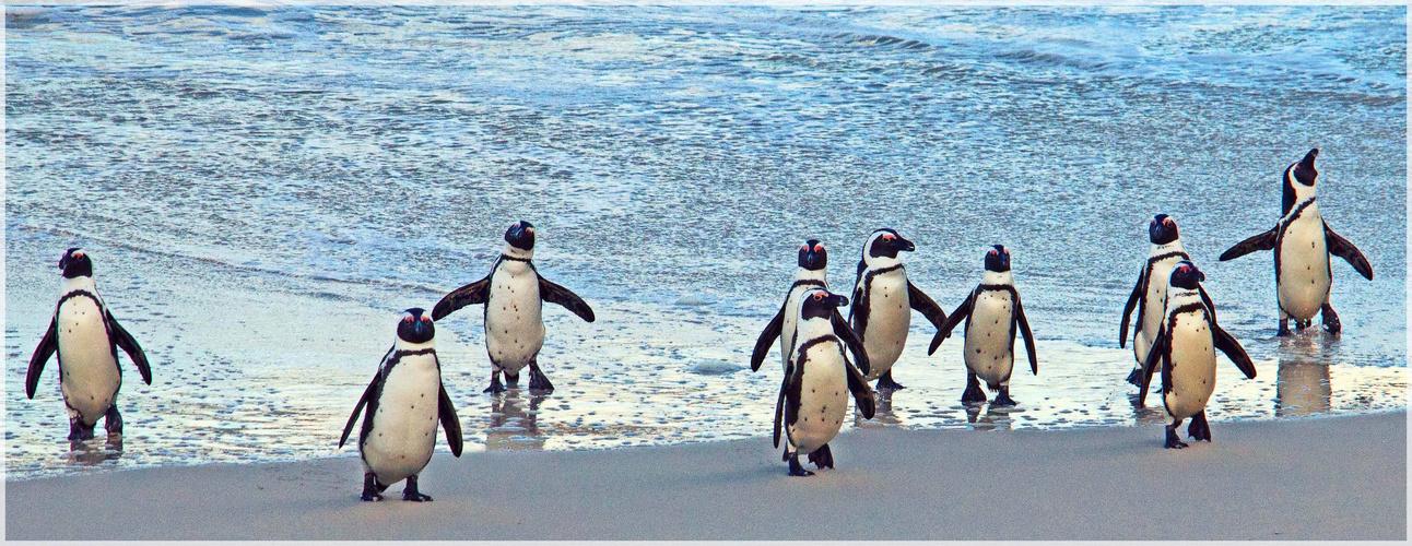 Zehn kleine Pinguine steigen fröhlich aus dem Atlantik