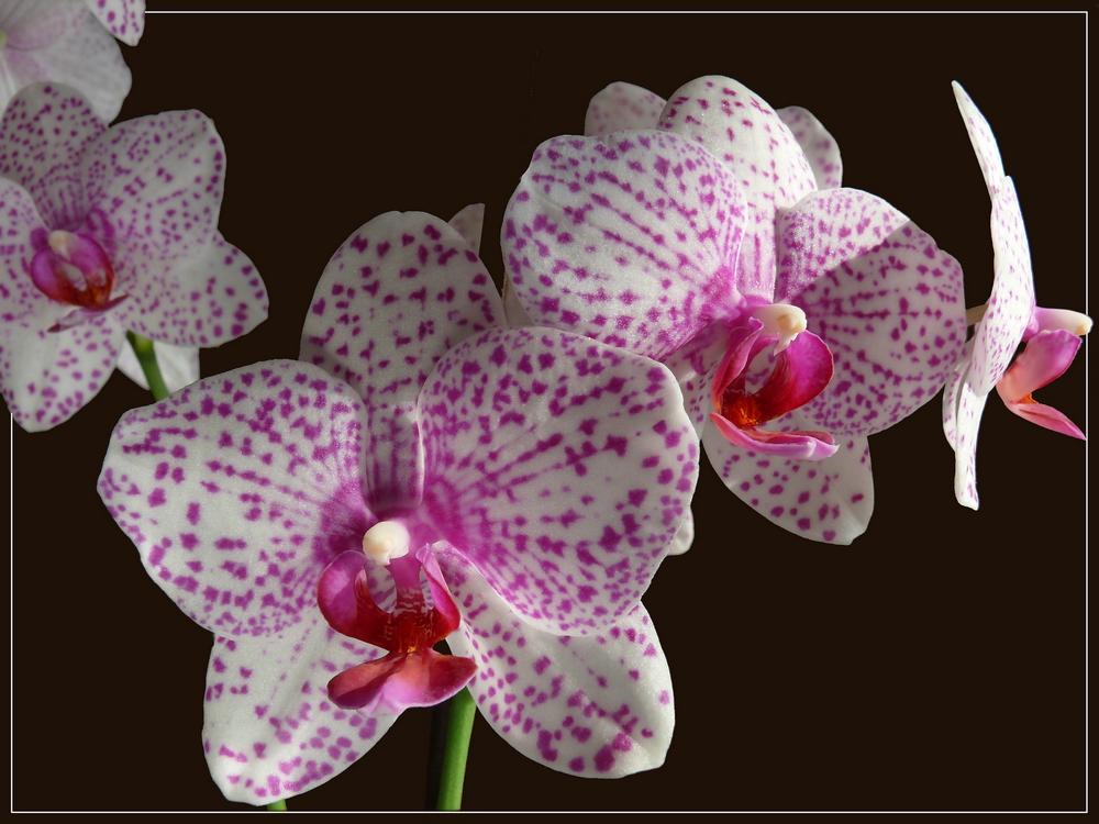 Zeichnungen der Phaleonopsisblüte
