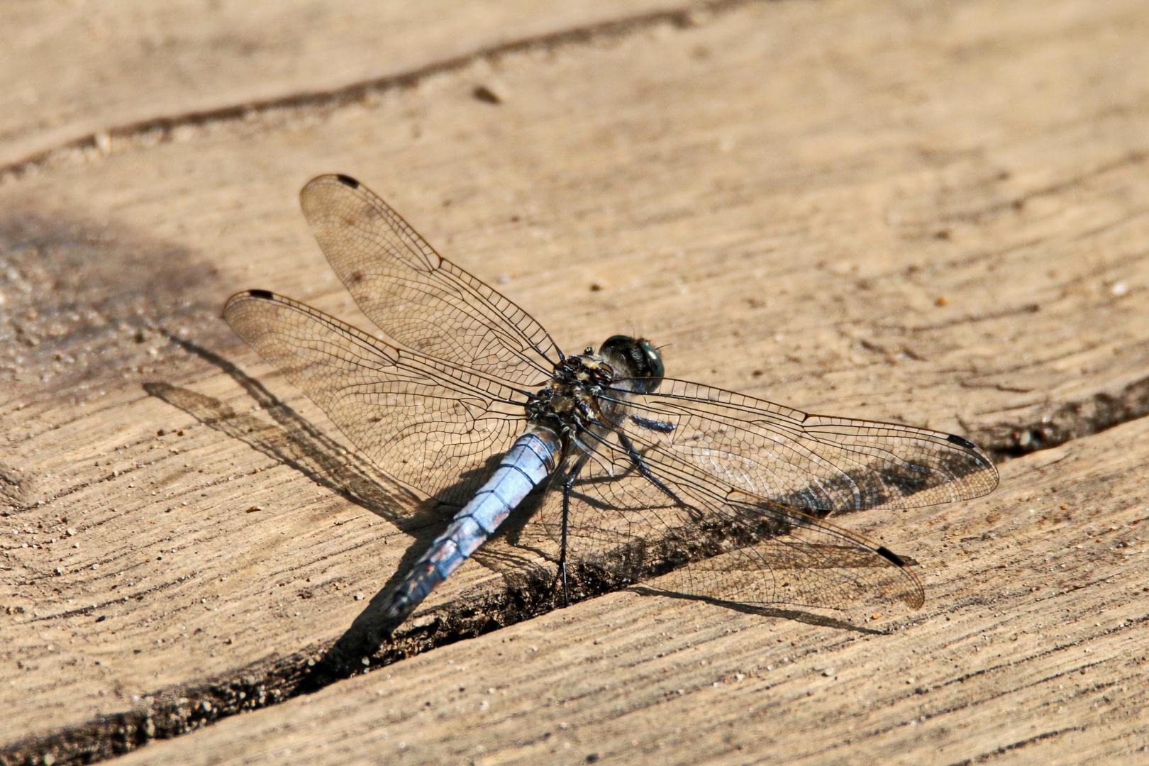 zeig her deine fl gel foto bild natur fliege insekten bilder auf fotocommunity. Black Bedroom Furniture Sets. Home Design Ideas