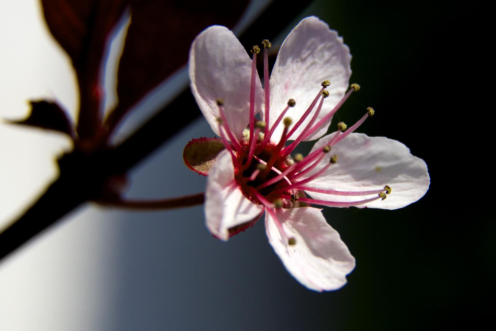 Zeirkirschenblüte