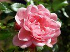 Zeit der Rosenblüte..