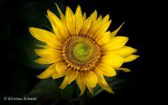 Zeit der Sonnenblume