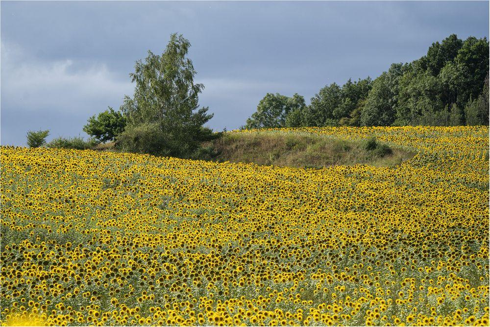 Sonnenblumen Zeit
