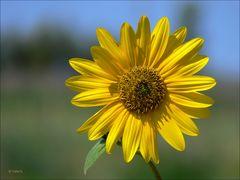 Zeit für eine Sonnenblume...