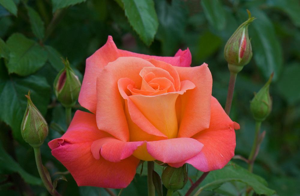 Zeit für Rosen