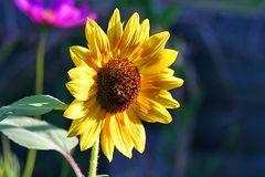 zeitige Sonnenblume