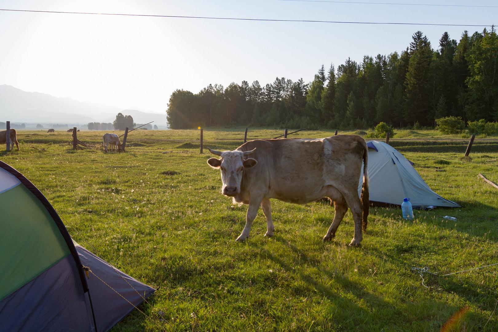 Zelten mit Kühen