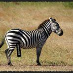 zensuriertes Zebra