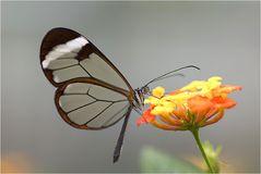 zerbrechlich wirkend, durchsichtige Flügel und wunderschön