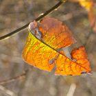 zerbrechliches Herbstblatt