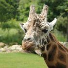 zerknautschte Giraffe