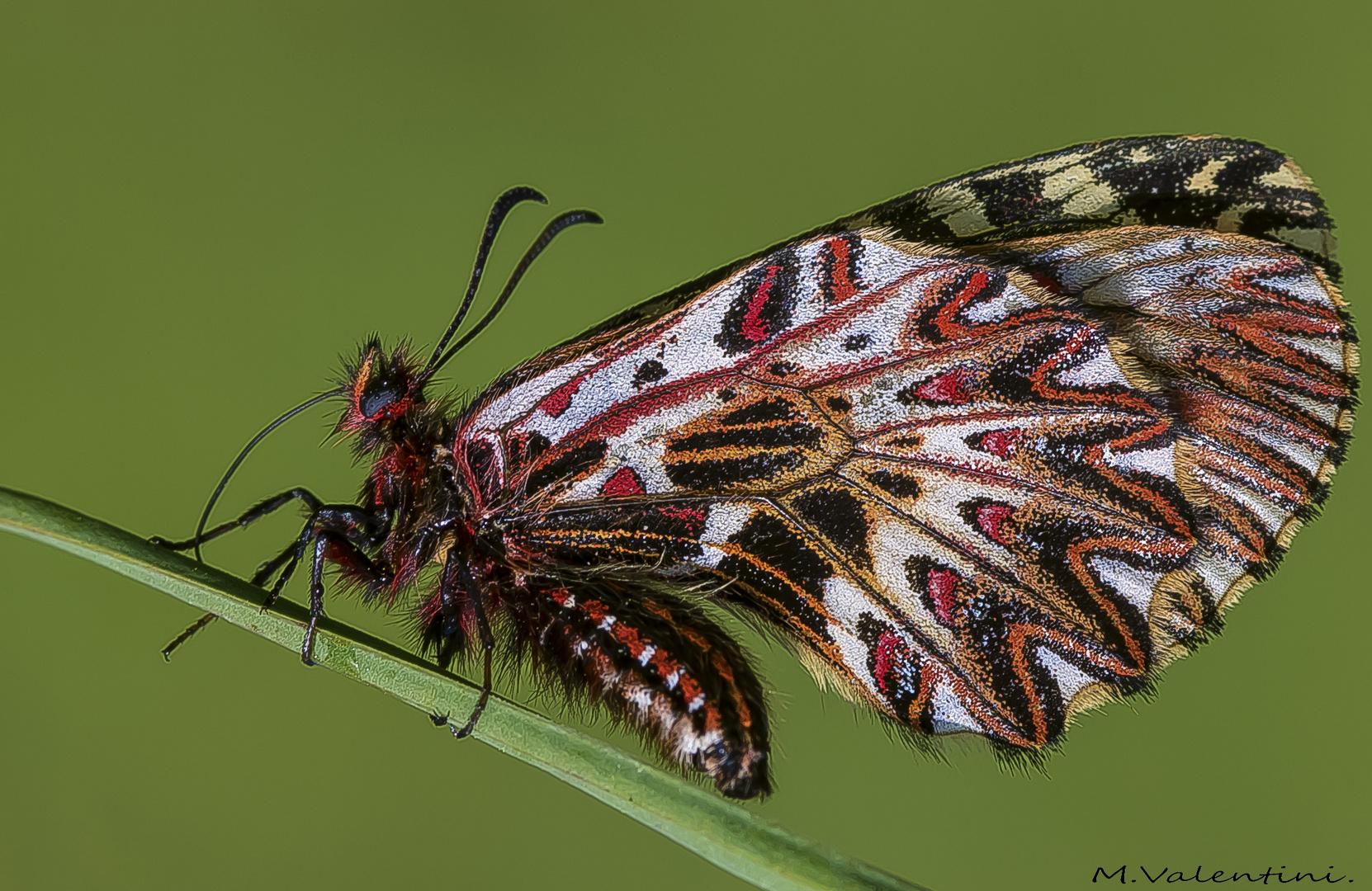 Zerynthia polyxena.