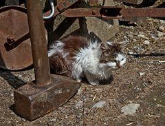 Zerzauste Katze auf der Suche nach Brauchbarem zwischen den alten Gerätschaften am Bauernhof!