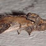 Zickzack-Zahnspinner (Notodonta ziczac)