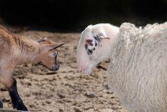 Ziege und Schaf