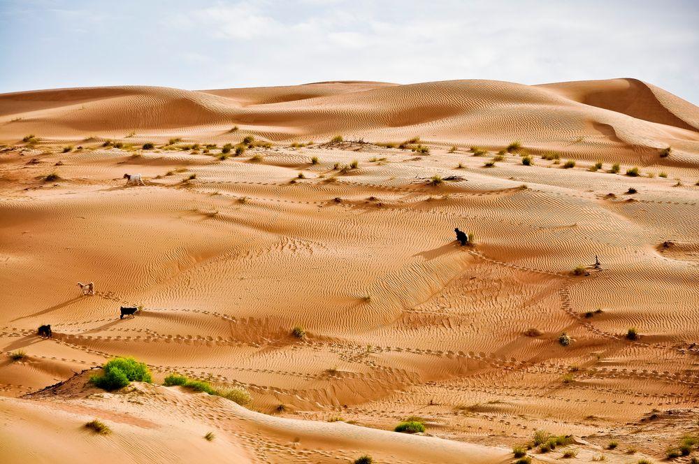 Ziegen in der Wüste