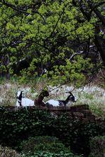 Ziegen umgeben von Natur