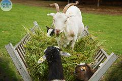 Ziegenbockchef als Alphatierchen bei der Fütterung