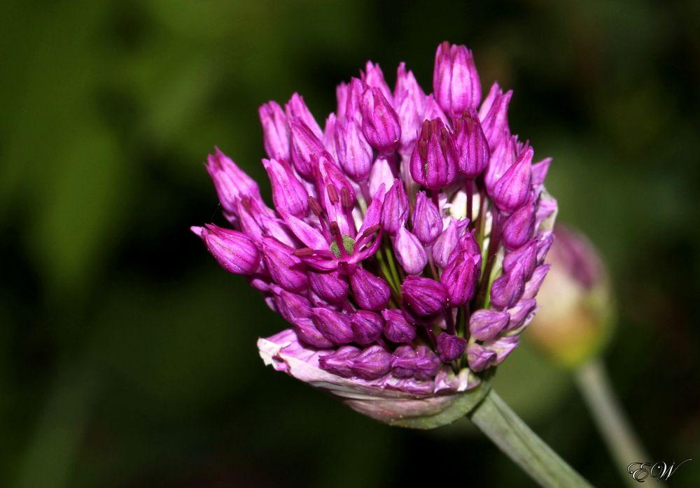 Zier-Allium ( Aflatunense 'Sensation' )
