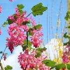 Zier-Johannisblüte