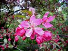 Zierapfel-Blüte