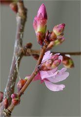 Zierkirschblüte im Januar - Doku