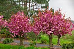 Zierkirsche Prunus serrulata 'Shidare Sakura'