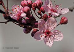 Zierpflaumen-Blüten