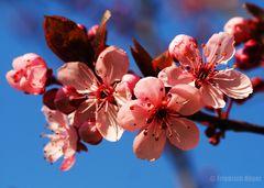 Zierpflaumen-Blüten_3