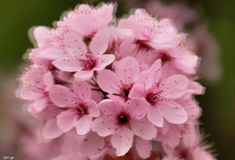 Zierpflaumenblüte