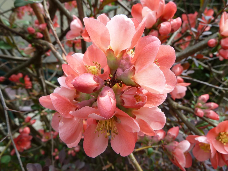 Zierquitte im Frühling