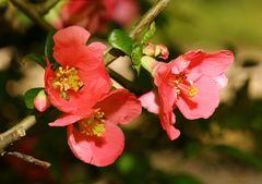 Zierquittenblüten